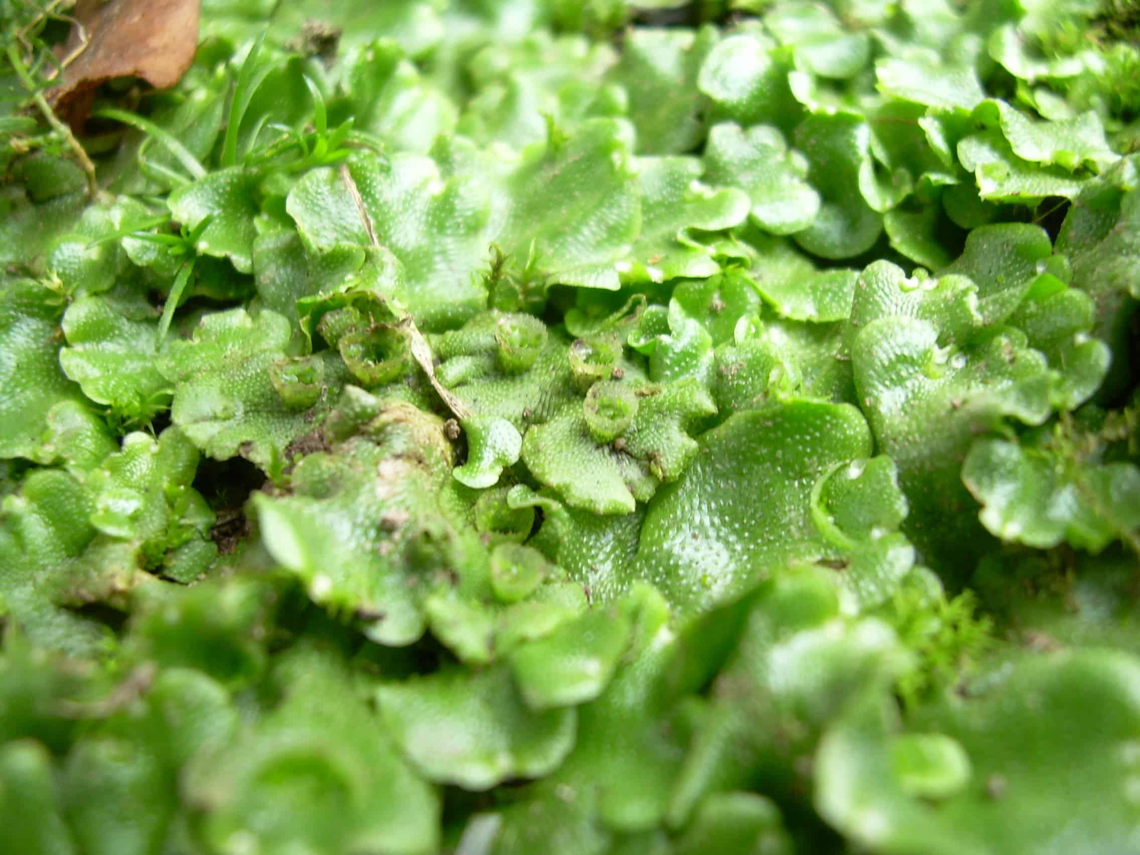 planta hepática