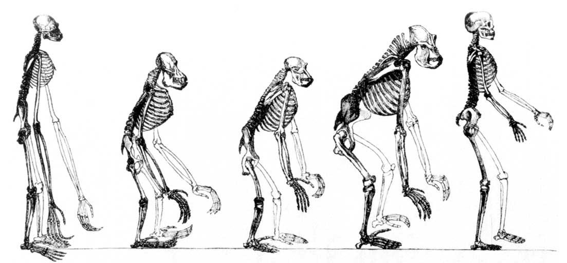 proceso evolutivo a partir de los esqueletos